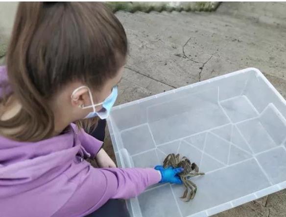 意大利一花园内惊现中国大闸蟹