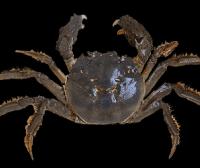蟹界名旦|大闸蟹
