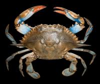 蟹界名旦|梭子蟹