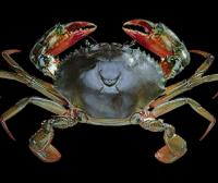 蟹界名旦|青蟹
